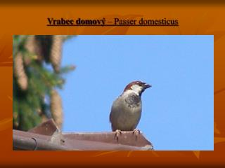 Vrabec domový  – Passer domesticus