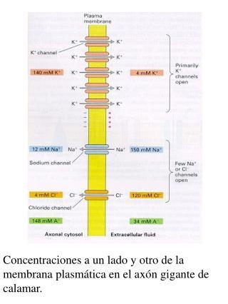 Concentraciones a un lado y otro de la membrana plasmática en el axón gigante de calamar.