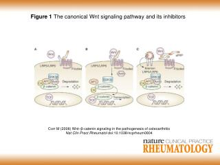 Figure 1  The canonical Wnt signaling pathway and its inhibitors