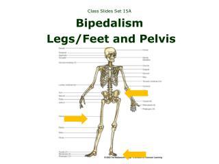 Class Slides Set 15A Bipedalism Legs/Feet and Pelvis