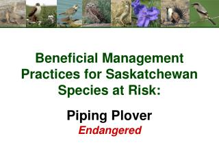 Beneficial Management Practices for Saskatchewan Species at Risk: Piping Plover Endangered