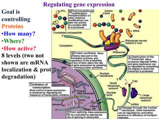 Regulating gene expression Goal is  controlling  Proteins How many? Where? How active?