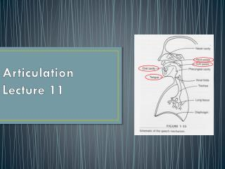 Articulation Lecture 11
