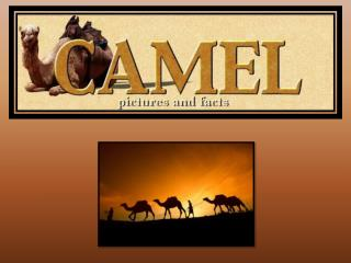 The Desert Camel