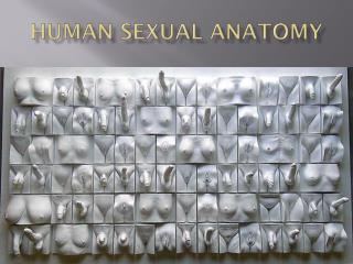 Human sexual anatomy