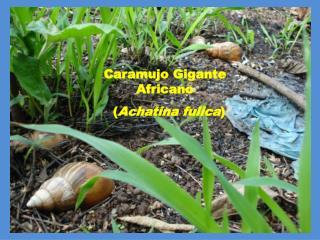 Caramujo Gigante Africano   ( Achatina fulica )