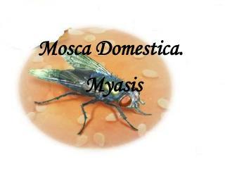 Mosca Domestica.