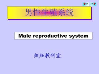 男性生殖系统