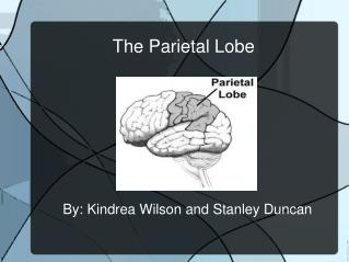 The Parietal Lobe