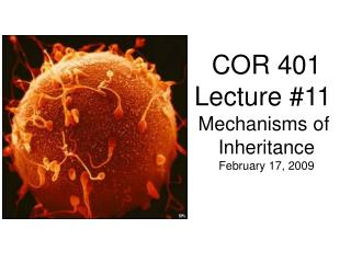 COR 401 Lecture #11  Mechanisms of  Inheritance February 17, 2009