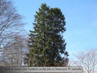 Kuusi on suomen pisin luontainen puulaji joka voi kasvaa jopa 45 metriseksi