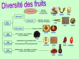 Diversit  des fruits
