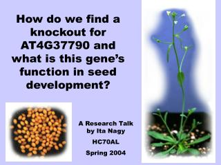How do we find a knockout for AT4G37790 and what is this gene's function in seed development?