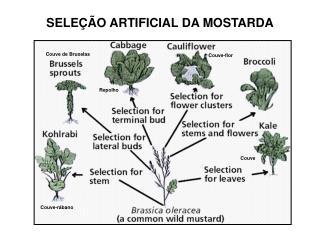 SELEÇÃO ARTIFICIAL DA MOSTARDA