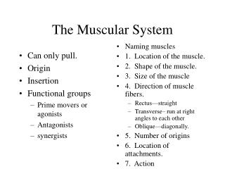 The Muscular System Part II