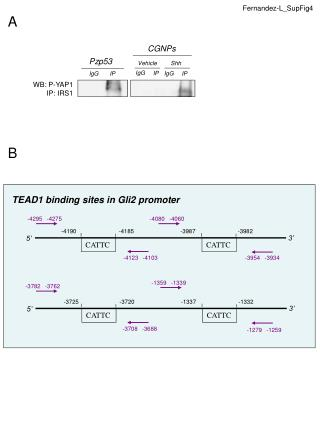 TEAD1 binding sites in Gli2 promoter