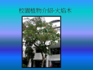 校園植物介紹 - 火焰木