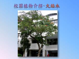 校園植物介紹 ~ 火焰木