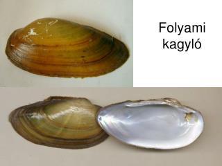 Folyami kagyló