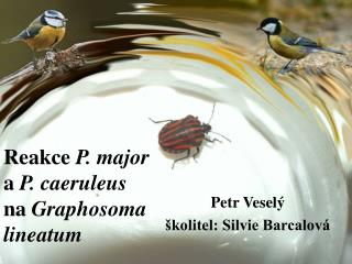 Reakce P. major a  P. caeruleus na  Graphosoma lineatum