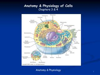 Anatomy & Physiology of Cells Chapters 3 & 4 Anatomy & Physiology