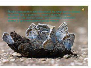 Fluturii au o durata de  viata foarte diferita:  in medie 1 sau 2 luni.