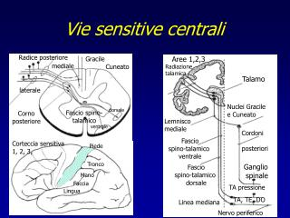 Vie sensitive centrali