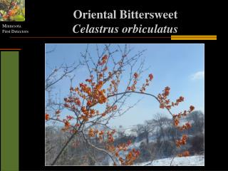 Oriental Bittersweet Celastrus orbiculatus