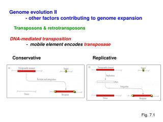 Genome evolution II  	- other factors contributing to genome expansion