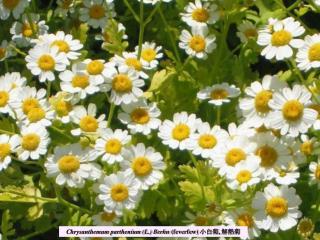 Chrysanthemum parthenium L. Berhn feverfew ,
