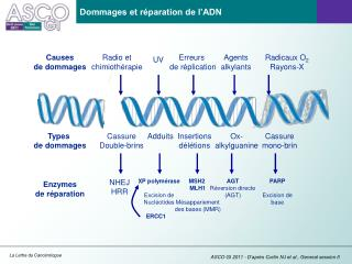 Dommages et réparation de l'ADN