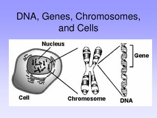 DNA, Genes, Chromosomes, and Cells