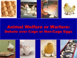 Animal Welfare or Warfare: Debate over Cage or Non-Cage Eggs