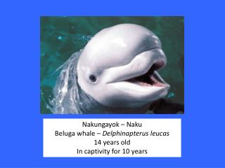 Nakungayok  –  Naku Beluga whale –  Delphinapterus leucas 14 years old In captivity for 10 years