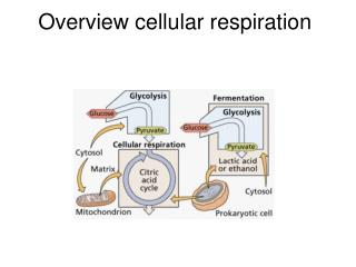 Overview cellular respiration