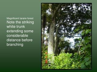 Magnificent taraire forest