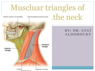 Muscluar  triangles of  ……………….the neck