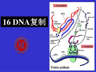 16 DNA 复制