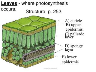 Leaves  - where photosynthesis occurs.