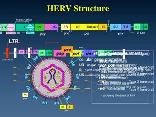 HERV Structure