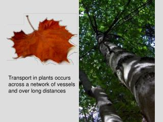 Transport in plants occurs across a network of vessels and over long distances