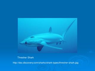 dsc.discovery/sharks/shark-types/thresher-shark.jpg
