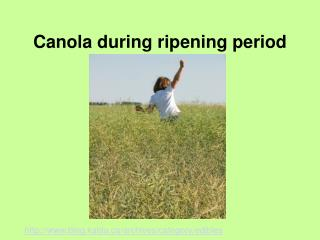 Canola during ripening period