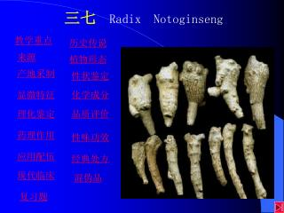 三七  Radix  Notoginseng