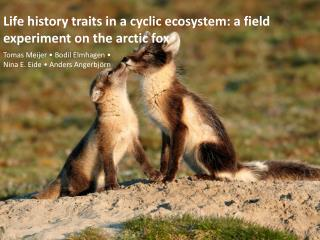 Life history traits in a cyclic ecosystem: a field  experiment on  the arctic fox