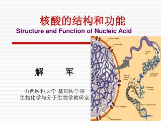 核酸的结构和功能