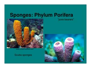 Sponges: Phylum Porifera