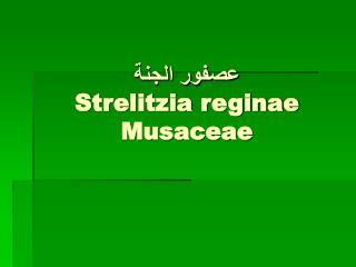 عصفور الجنة Strelitzia reginae Musaceae