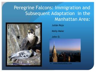 Peregrine Falcons: Immigration and Subsequent Adaptation  in the Manhattan Area: