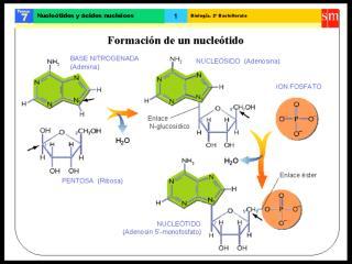 nucle$00f3tidos$0020y$0020acidos$0020nucleicos